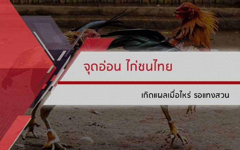 จุดอ่อน ไก่ชนไทย