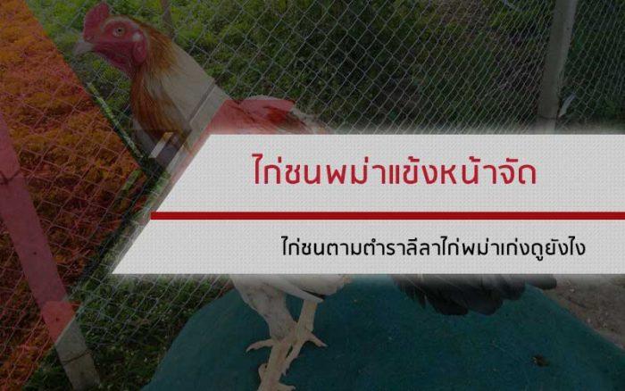 ไก่ชนพม่าแข้งหน้าจัด